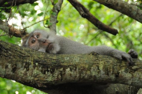 Monkey Resting  - Ubud, Bali - Indonesia       Photo by Kerry