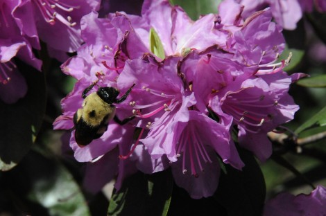 Bumble Bee on flower in purple flower in central park