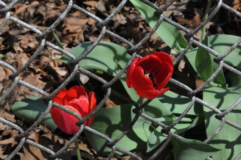 Tulips growing through chain link fence